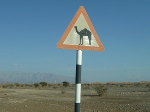 ラクダに注意(砂漠地帯で多く見られる)